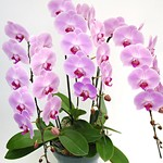 orchid_3pink