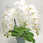 orchid_3white