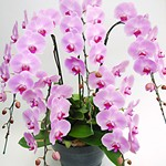 orchid_5pink